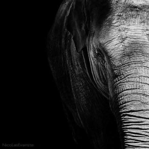 Elephas maximus by Evariste: I bet you won't forget this elephant! Elephant art by Evariste