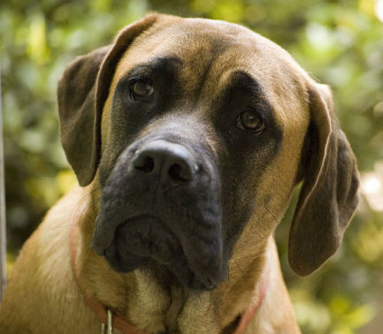 English Mastiff (Photo by Fotosuabe/Creative Commons vis Wikimedia)