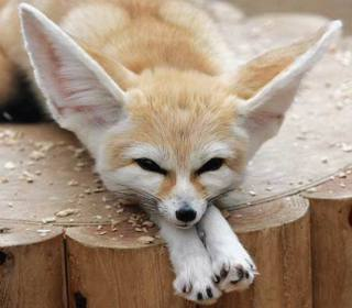 Fennec Fox: Image by Yvonne in Willowick Ohio, Flickr