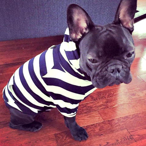 French Bulldog Wearing Max-Bone Doggy Duds: Athleisure wear by Max-Bone (image via Max-Bone Facebook)