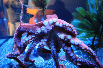 Giant Pacific Octopus (Photo by Cliff/Creative Commons via Wikimedia)