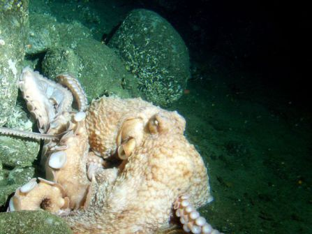 Giant Pacific Octopus (Public Domain Image)