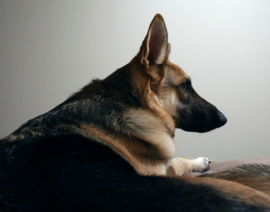 German sheperd vision loss study