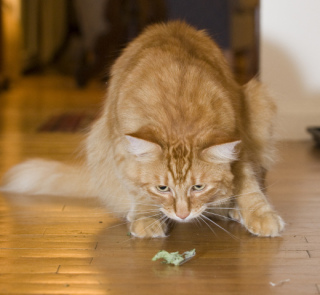 Gillie Stalking Catnip: Image by PhotoFarmer, Flickr