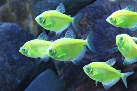 Electric Green Tetra (Photo by WWW.GloFish.com/Creative Commons via Wikimedia)