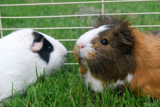 Guinea Pigs: Image by Picto:Graphic, Flickr