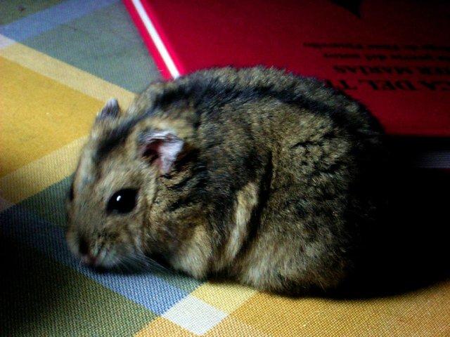 Pet hamster (not Pac). Photo by Ernesto Azuar Valenzuela.