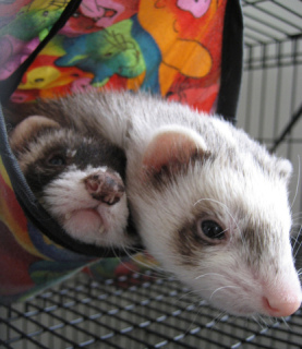 Ferrets Hanging Out In Cage by Metta Matt, Flickr