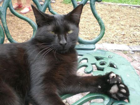 One of the Hemingway Cats (Photo by Averette/Creative Commons via Wikimeda)
