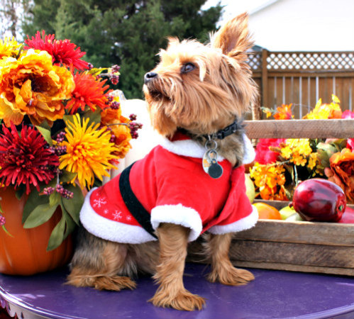 Holiday Pet Pictures: Posing pets for photographs
