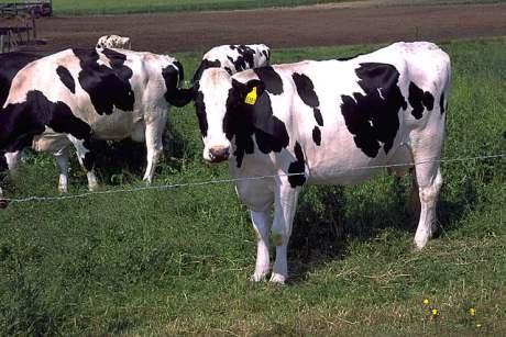 Cows (Public Domain Image)