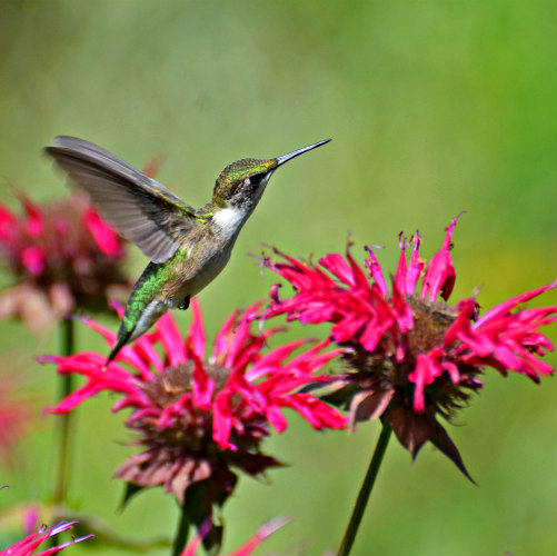 Hummingbirds seek nectar
