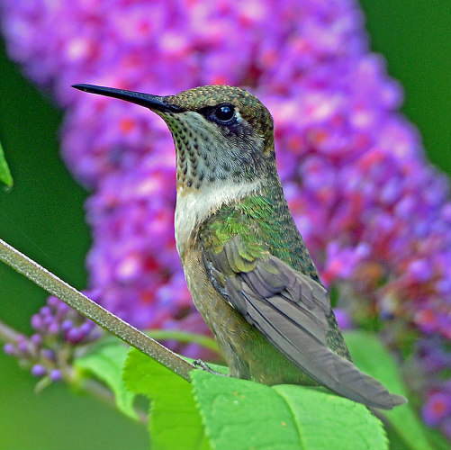 hummingbird in search of nectar
