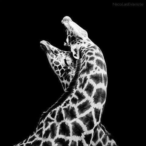 In Love by Evariste: Some very affectionate giraffes. Giraffe art by Evariste