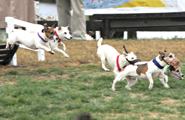 Purina Pro Incredible Dog Challenge: Jack Russell Hurdle Racing Event