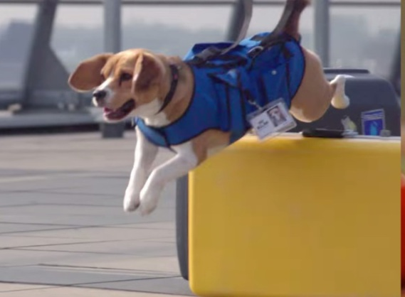 The KLM Airline Dog in Action (You Tube Image)