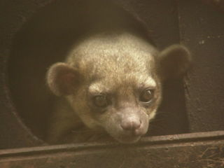 Kinkajou: Image by Frank Wouters, Wikimedia Commons