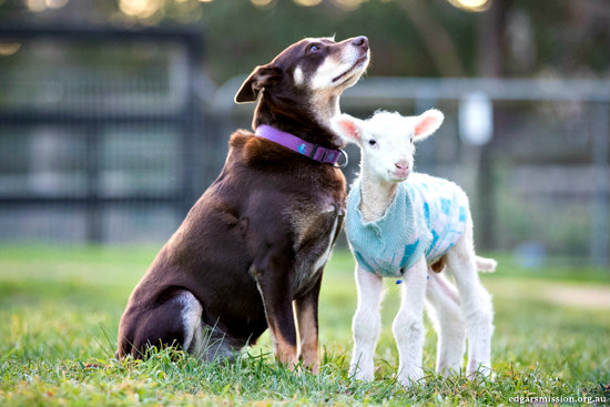 lamb and dog become best friends