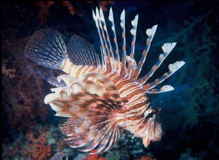 Lionfish (Public Domain Image)