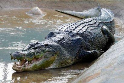 Lolong lounging in his enclosure. (Image via Yahoo! News)