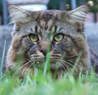 Maine Coon: Image by Gnuckx, Flickr