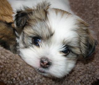 Maltese-Shihtzu Puppy: Image by Wsilver, Flickr
