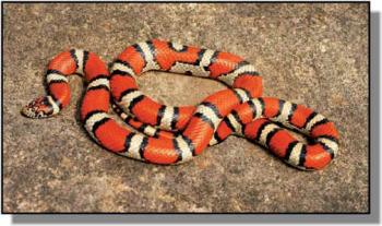 Popular Pet Snake: Milk Snake