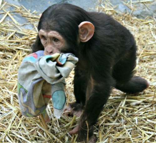 NIH Ends Testing on Chimpanzees: Chimps are our closest non-human relatives