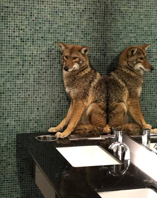 Music-Loving Coyote Takes Refuge In Nashville Restroom