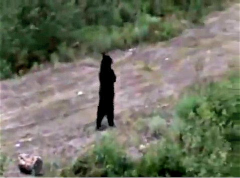 New Jersey Black Bear 'Pedals': An injured black bear in New Jersey has learned to cope by walking upright