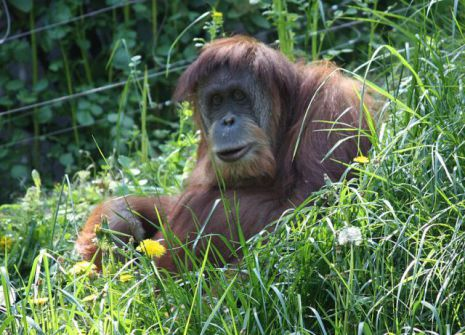 An Orangutan at the Cincinnati Zoo (Photo: Ltshears/Creative Commons via Wikimedia)