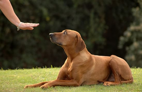 Dog and owner practice 'down' command