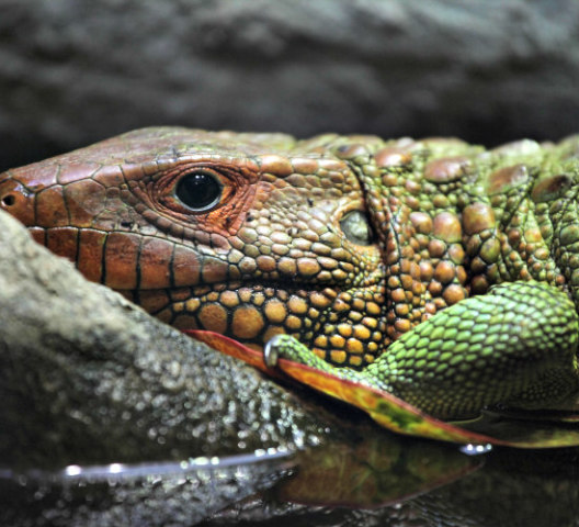 Phoenix Herpetological Society's No Kill Shelter Accepts Pet Reptiles: Help the environment by not dumping unwanted reptiles outdoors