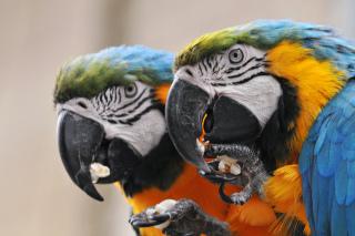 Parrots Love Popcorn: Image by Tambako the Jaguar, Flickr