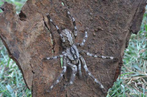 Poecilotheria rajaei : (Photo by Ranil Nanayakkara / British Tarantula Society/ via Wikimedia Commons)