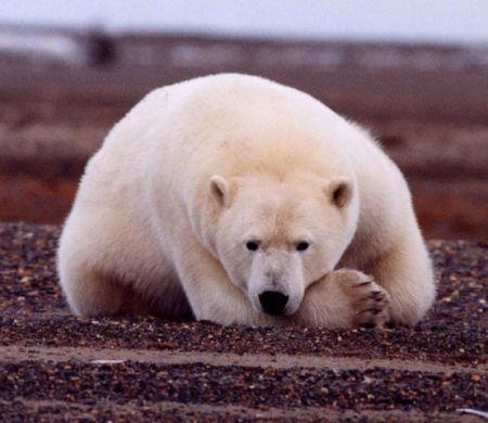 Polar Bear (Public Domain Image)