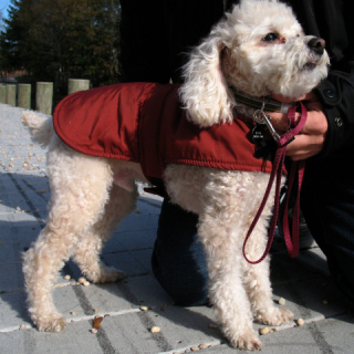 Poodle Wearing Coat: Image by Mr. T in DC, Flickr