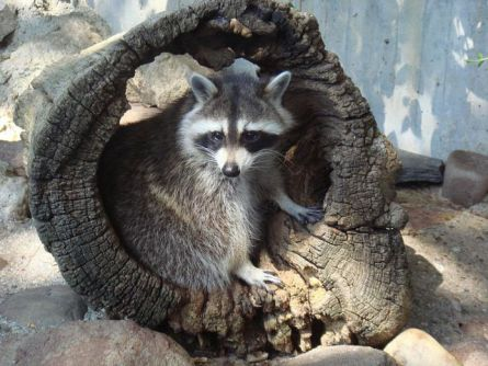Raccoon (Public Domain Image)