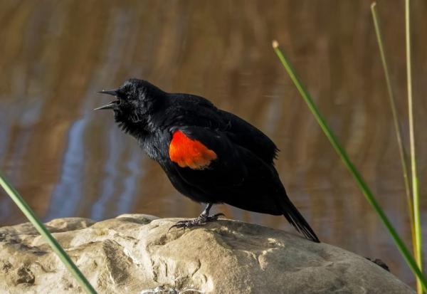 Red Winged Blackbird by Tony Peebles, California, 2017 GBBC