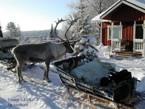 Reindeer (Photo by Anthere/GNU Free Documentation License)