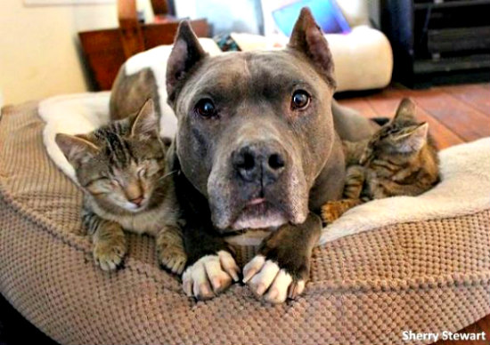 rescue pit bulls help three blind cats to see