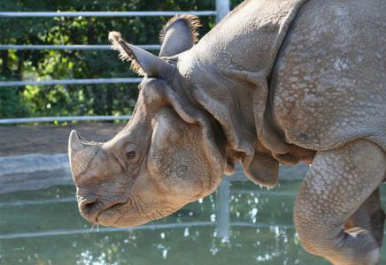Rhinoceros (Photo by Sepht/Creative Commons via Wikimedia)