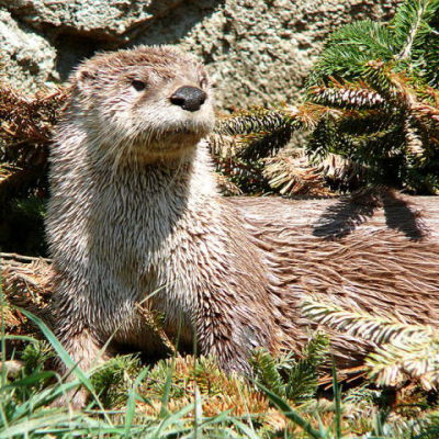 The North American River Otter (Public Domain Photo, No Photos of the Japanese River Otter Exist in the Public Domain)