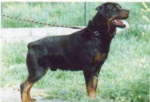 Rottweiler: image via dogbreedinfo.com