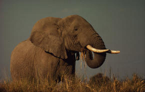 Hundreds of elephants are slaughtered for their tusks: image via worldwildlife.org