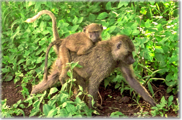Baboons in the Mahale National Park, Tanzania