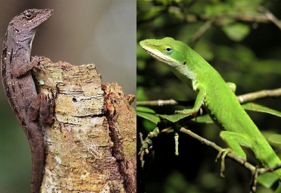Leaping Lizards Evolving Faster in South Carolina Due To Cuban Invasion