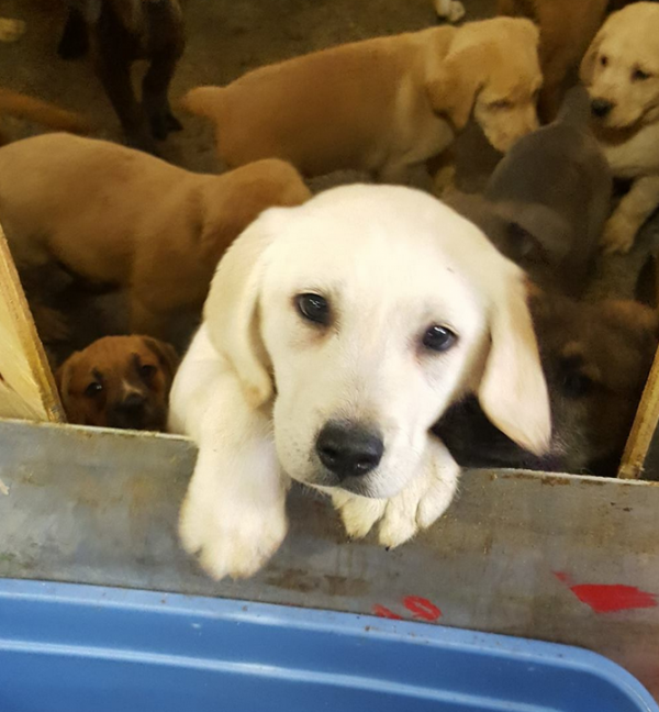 Doggone Miracle For 103 Puppies Pulled From Overturned Truck