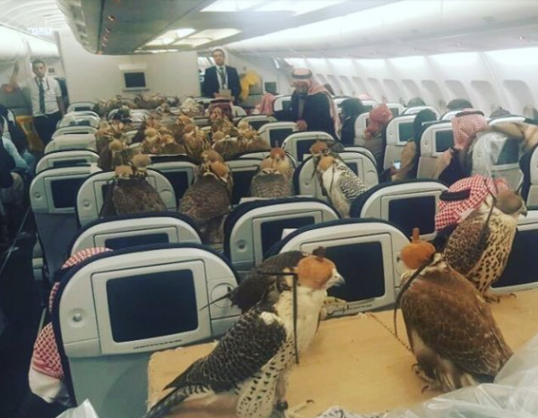When A Flight Of Royal Falcons Goes First Class