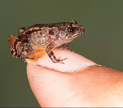 Discovering Endangered Thumbelina Frogs No Bigger Than A Rupee